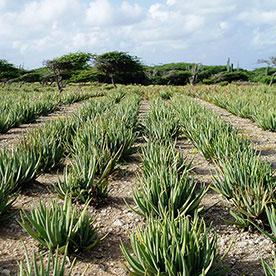 Aloe vera field Aruba